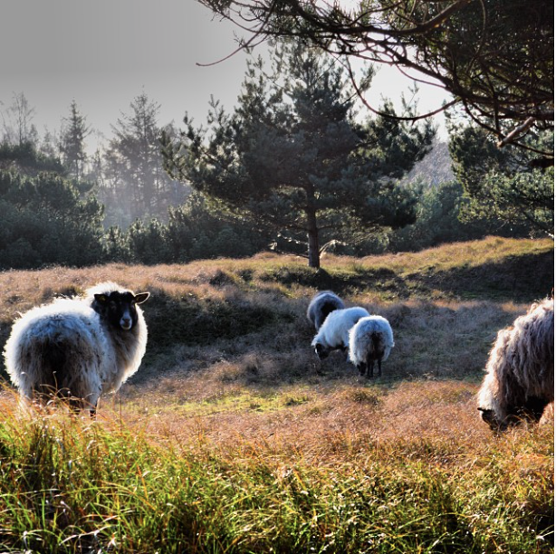 Sheep on pastures in Karlslunde near Copenhagen. Photo by Anette Uhrenfeldt