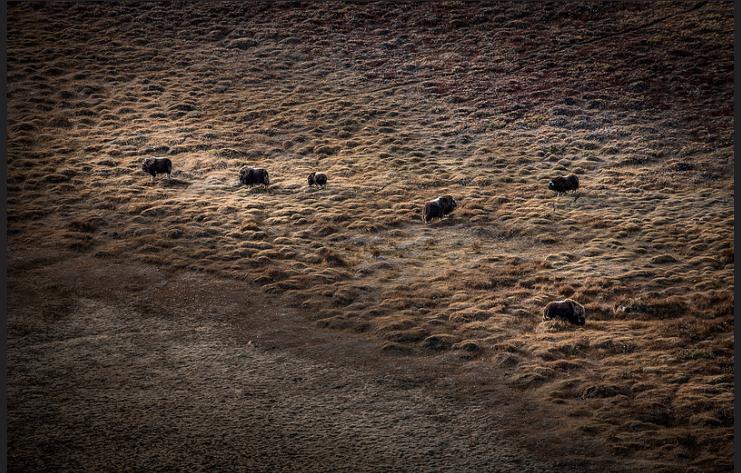 Musk oxen near Kangerlussuaq Photo by Mads Pihl